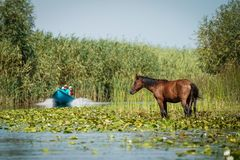 在多瑙河三角洲罗马尼亚的Letea野马 免版税库存图片