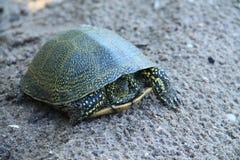 在多瑙河三角洲的乌龟 免版税库存照片