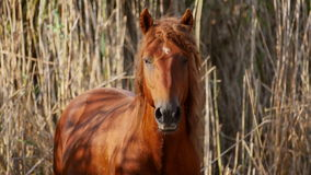 在多瑙河三角洲的野生公马 股票录像