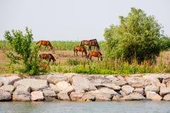 在多瑙河三角洲的野马 库存图片