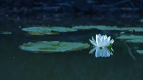 在多瑙河三角洲的水Lilly 免版税库存照片