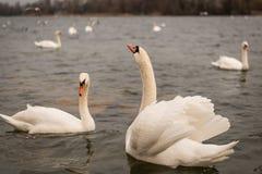 在多瑙河的两三只白色天鹅在维也纳 库存图片