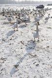 在多瑙河的天鹅在冬天 库存照片