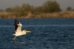 在多瑙河Delta的白色鹈鹕 库存图片