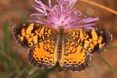 在多种花色鲜明之植物的珠色Crescentspot蝴蝶 免版税库存图片