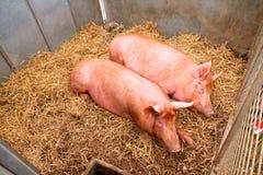 在多西特县展示的猪 免版税库存照片