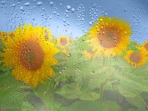 在多雨天气,在玻璃和蓝天的下落的向日葵 库存照片