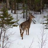 在多雪森林清除的幼小公鹿 库存图片