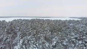 在多雪的云杉的森林的鸟瞰图低飞行在冬天 空中用雪盖的射击大杉木森林在冬天 股票视频