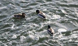 在多雪的公园聚集在冻池塘的鸭子 图库摄影