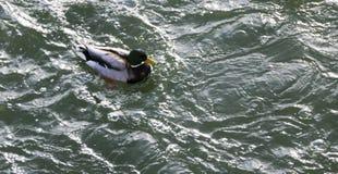 在多雪的公园聚集在冻池塘的鸭子 免版税图库摄影
