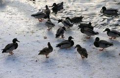 在多雪的公园聚集在冻池塘的鸭子 库存照片