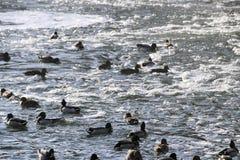 在多雪的公园聚集在冻池塘的鸭子 免版税库存照片