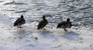 在多雪的公园聚集在冻池塘的鸭子 免版税库存图片