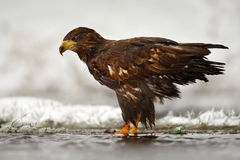 在多雪的冬天期间,白被盯梢的老鹰在水中 鹫在冷的河,寻找鱼 与鹫的雪冬天 库存照片