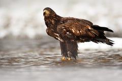 在多雪的冬天期间,鹫在水中 鹫在冷的河,寻找鱼 与鹫的雪冬天 鸟舍 免版税库存图片