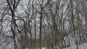 在多雪的冷淡的干燥自然树枝冬天风景森林户外俄罗斯 股票视频