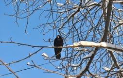 在多雪的分支的乌鸦 图库摄影