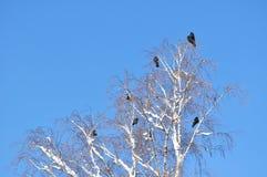 在多雪的分支的乌鸦 库存照片