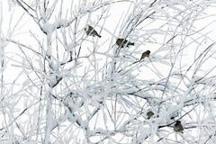 在多雪的分支的麻雀 库存照片