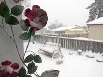 在多雪的天气的玫瑰 库存照片