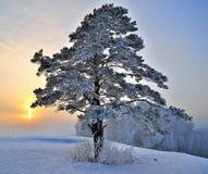 在多雪的小山的杉树。 库存照片