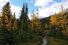 在多雪的山口下的黄色落叶松属树森林 免版税图库摄影