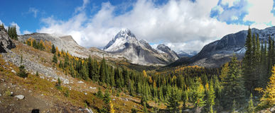 在多雪的山口下的黄色落叶松属树森林 免版税库存图片