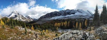 在多雪的山口下的黄色落叶松属树森林 库存图片