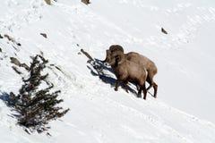 在多雪的山边的两只大垫铁绵羊 免版税库存照片