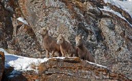 在多雪的峭壁的边缘的三只幼小大角野绵羊在杰克逊怀俄明附近 图库摄影