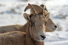 在多雪的峭壁的边缘的两只幼小大角野绵羊在杰克逊怀俄明附近 免版税库存照片