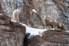 在多雪的峭壁的边缘的四只幼小大角野绵羊在杰克逊怀俄明附近 免版税库存图片