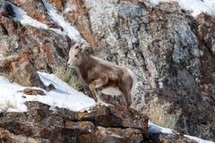 在多雪的峭壁的边缘的婴孩幼小大角野绵羊在杰克逊怀俄明附近 免版税库存图片