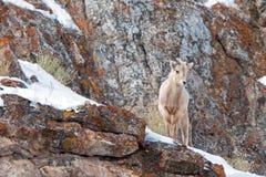 在多雪的峭壁的边缘的婴孩幼小大角野绵羊在杰克逊怀俄明附近 图库摄影