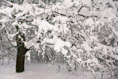 在多雪的年轻树森林稀薄的分支的沉思惨淡的冬天早晨弯曲在丰富的雪覆盖物下 免版税库存图片