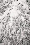 在多雪的年轻树森林稀薄的分支的沉思惨淡的冬天早晨弯曲在丰富的雪覆盖物下 免版税库存照片