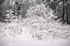 在多雪的年轻树森林稀薄的分支的沉思惨淡的冬天早晨弯曲在丰富的雪覆盖物下 库存照片