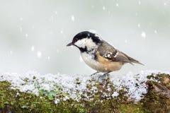 在多雪的日志的煤炭山雀野生鸟 免版税库存图片