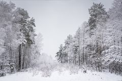 在多雪的森林雪的冬天在树 33c 1月横向俄国温度ural冬天 Sce 库存照片