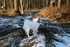 在多雪的石渣路的小白色狗 免版税图库摄影