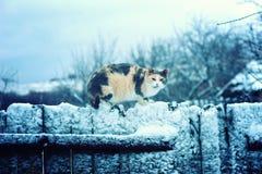 在多雪的篱芭的三色猫 库存图片