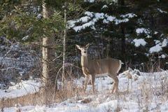 在多雪的结构树旁边的鹿。 库存照片