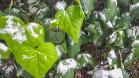 在多雪的绿色ive叶子 免版税库存照片