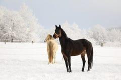 在多雪的草甸的逗人喜爱的马 库存照片