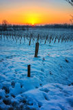 在多雪的葡萄园的日落 库存图片