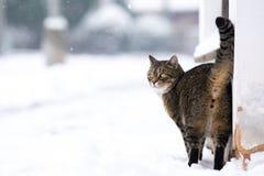 在多雪的街道上的镶边猫在冬天 免版税库存图片