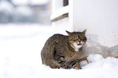 在多雪的街道上的镶边猫在冬天 图库摄影