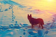 在多雪的领域的狗 免版税库存图片