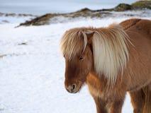 在多雪的领域的白肤金发的马 库存照片